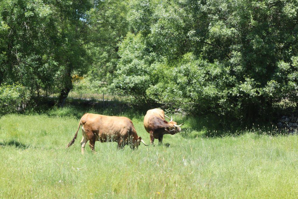 Vacas autóctonas pastando